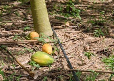 Papaya (6)+drip